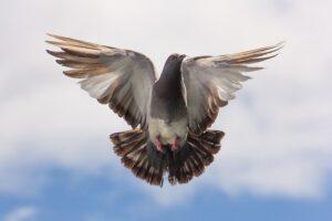 galamb repül széttárt szárnyakkal
